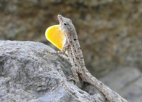 Anolis stratulus dewlap display