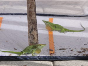 Lizards displaying in a male-male trial.