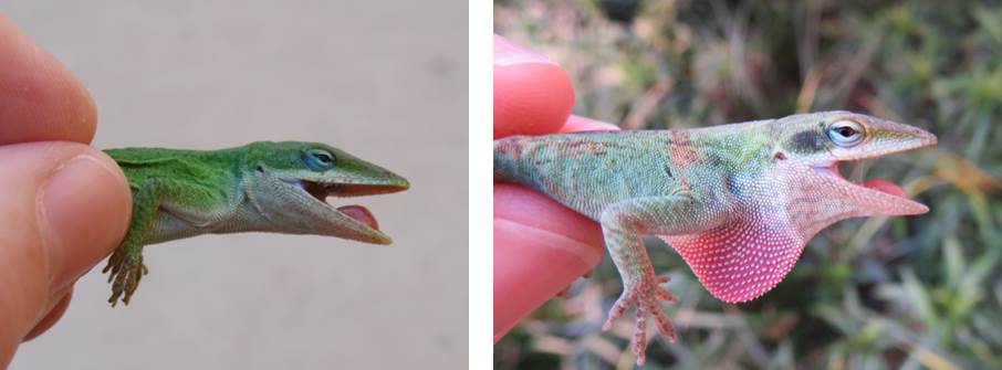is this anole a male or a female lizards friends